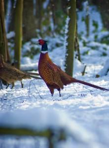 pheasant in the snow-min
