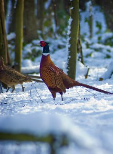 pheasant in the snow-min